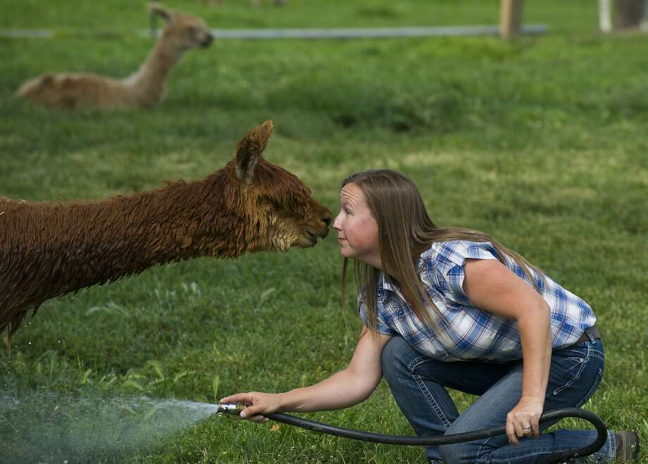 Elaine Vandiver shares a moment with a two-year old alpaca as they touch noses as she washes him at her farm at 1560 Stateline Road Monday, May 11, 2015, in Walla Walla, Wash. Photo: Michael Lopez, Associated Press