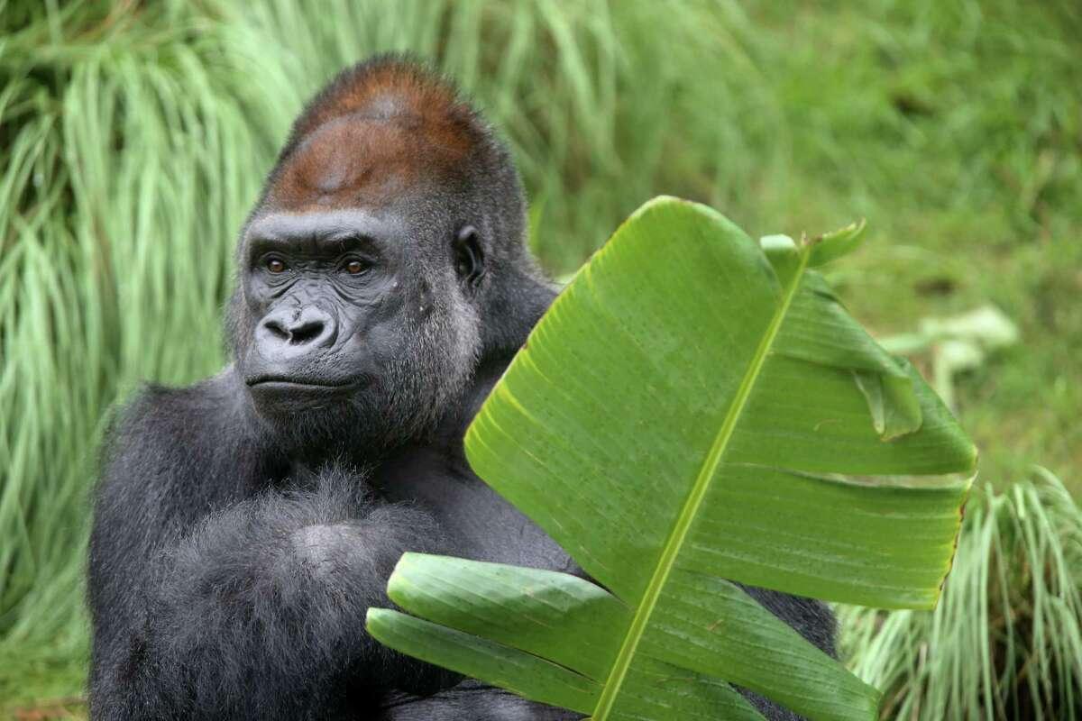 Zuri, a 31 year-old silverback gorilla, roams the new Gorilla Habitat at the Houston Zoo on Tuesday, May 12, 2015, in Houston.