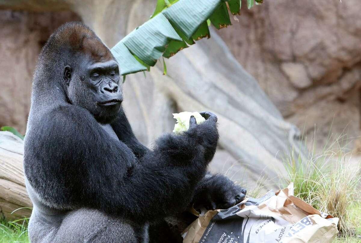Zuri, 31 year-old silverback gorilla, eats breakfast in the new Gorilla Habitat at the Houston Zoo on Tuesday, May 12, 2015, in Houston.