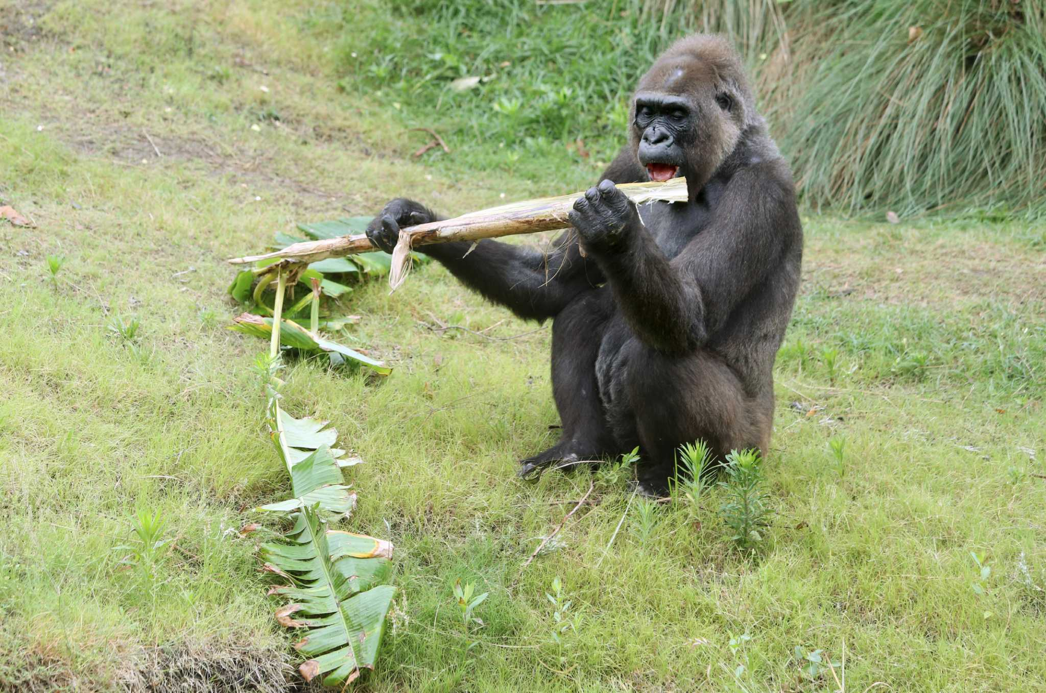 gorillas have a swanky new habitat at the houston zoo  and