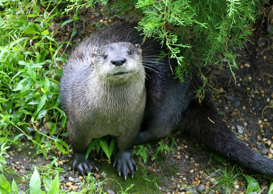 North American River Otter Bert is not the only animal you can help catch a bite at the Stamford Museum and Nature Center on Saturday, May 23, 2015. A new program Wild! Saturdays enables guests to prepare the meals for animals from around the globe. Photo: File Photo, ST / Stamford Advocate