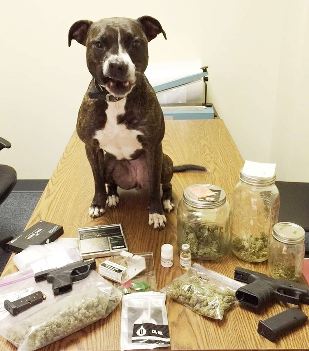 Montgomery County Precinct 4 K9 officer Libby stands over a stash of drugs and guns she helped recover during a felony drug bust in Splendora. (Source: Montgomery County Police Reporter)
