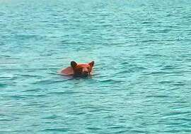 A cinnamon-colored black bear was sighted swimming across a lake in Northern California, and then turned and raised its head to appraise the situation -- near a boat operated by San Francisco Chronicle outdoors writer Tom Stienstra -- then bear then swam off, taking its time, and eventually emerged on shore and disappeared into forest