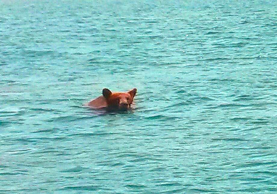 A cinnamon-colored black bear was sighted swimming across a lake in Northern California, and then turned and raised its head to appraise the situation -- near a boat operated by San Francisco Chronicle outdoors writer Tom Stienstra -- then bear then swam off, taking its time, and eventually emerged on shore and disappeared into forest. Check out some other wild sightings by clicking through the gallery. Photo: Kail Robert