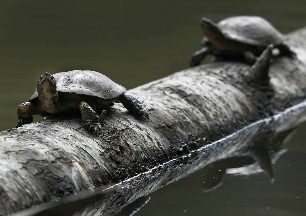 Western pond turtles rest on a log at Tilden Park's Jewel Lake in Berkeley, Calif. on Wednesday, May 13, 2015. State fish and wildlife officials are urging people to leave turtles alone if they see one in dry terrain as they could simply be en route to nesting areas away from ponds or creeks and not in distress. Photo: Paul Chinn, The Chronicle