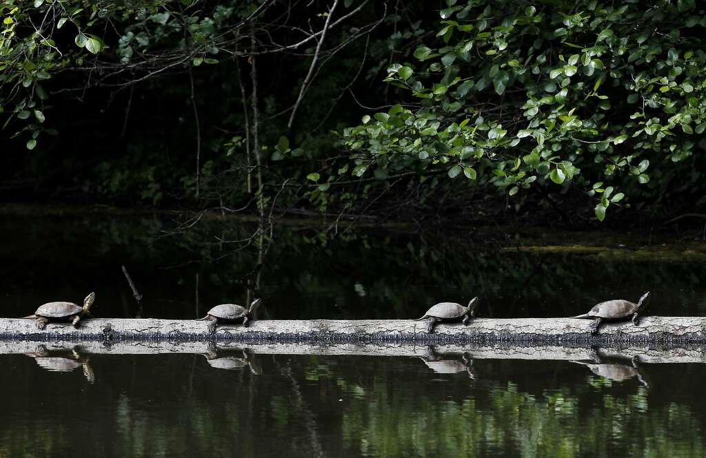 Western pond turtles line up on a log at Tilden Park's Jewel Lake in Berkeley, Calif. on Wednesday, May 13, 2015. State fish and wildlife officials are urging people to leave turtles alone if they see one in dry terrain as they could simply be en route to nesting areas away from ponds or creeks and not in distress. Photo: Paul Chinn, The Chronicle