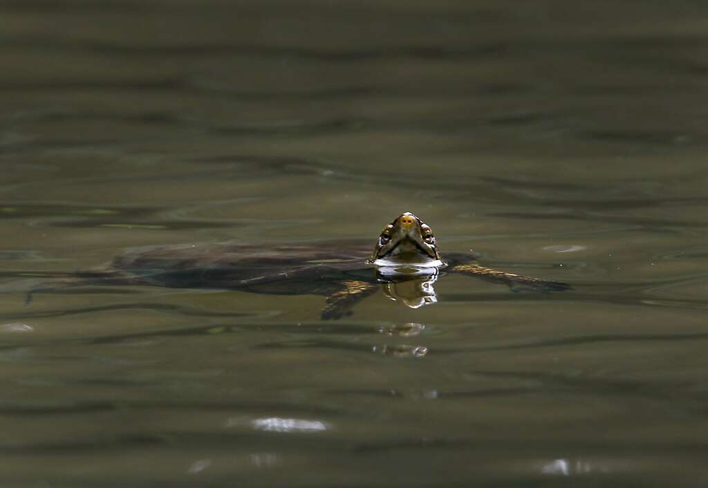 A western pond turtle swims in Jewel Lake at Tilden Park in Berkeley, Calif. on Wednesday, May 13, 2015. State fish and wildlife officials are urging people to leave turtles alone if they see one in dry terrain as they could simply be en route to nesting areas away from ponds or creeks and not in distress. Photo: Paul Chinn, The Chronicle