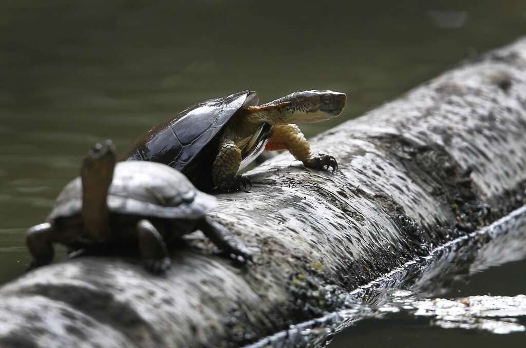 A western pond turtle climbs out of Jewel Lake onto a log at Tilden Park in Berkeley, Calif. on Wednesday, May 13, 2015. State fish and wildlife officials are urging people to leave turtles alone if they see one in dry terrain as they could simply be en route to nesting areas away from ponds or creeks and not in distress. Photo: Paul Chinn, The Chronicle