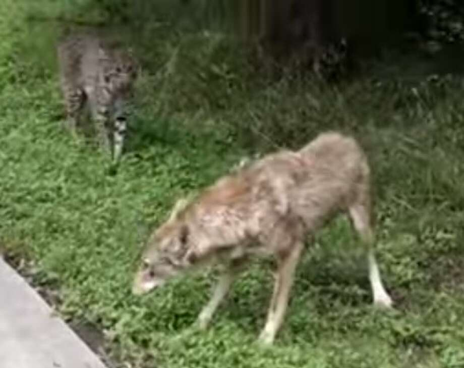 Bicyclist Jon Snow captured this encounter between a bobcat, left, and coyote in River Legacy Parks in Arlington, May 2015. Photo: Christian, Carol, Jon Snow