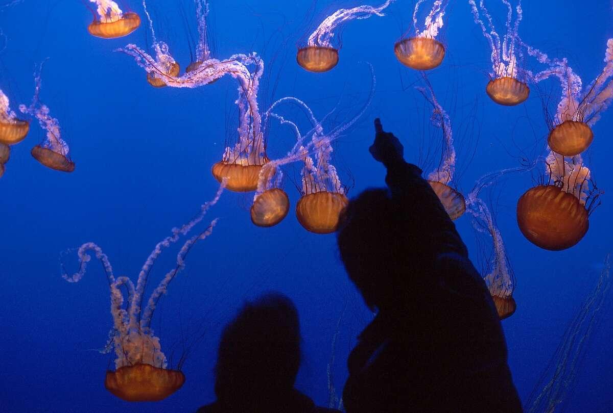 Visitors taking in the sea nettles on exhibit at Monterey Bay Aquarium.