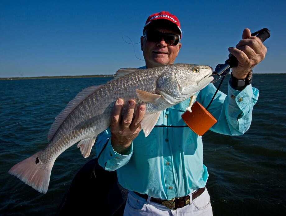 Redfish, or red drum, is a popular sport fish along the coast, but the saltwater species also is stocked in Calaveras and Braunig lakes, which are about 20 minutes from downtown San Antonio. Photo: John Goodspeed /For The Express-News
