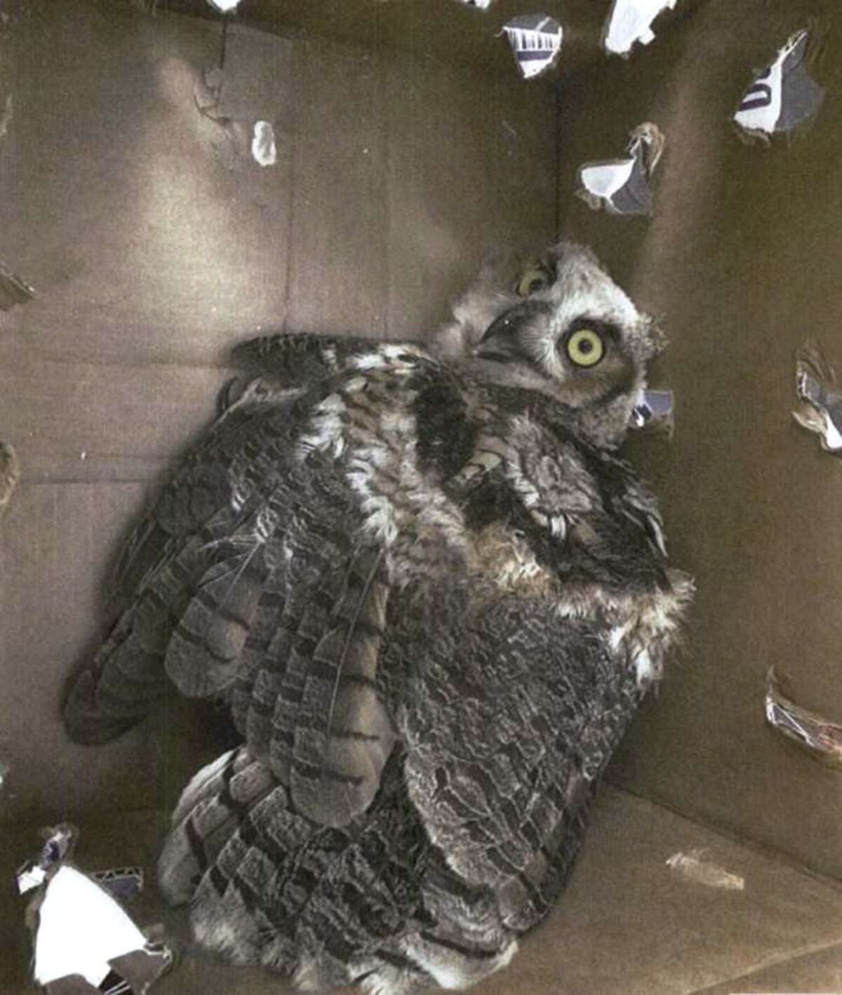 Great Horned Owl that Jorge Rocha sold to an undercover agent on May 2, 2012.