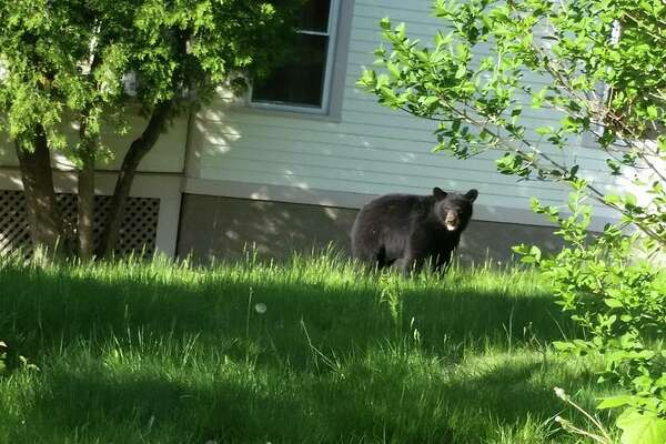 This black bear was captured in Shelton on Thursday, May 14, 20015.