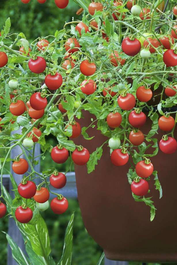 """Harris County Master Gardeners share their knowledge during the """"Everything You Ever Wanted to Know About Growing Tomatoes"""" seminar May 30. Photo: HANDOUT, HO / MCT"""