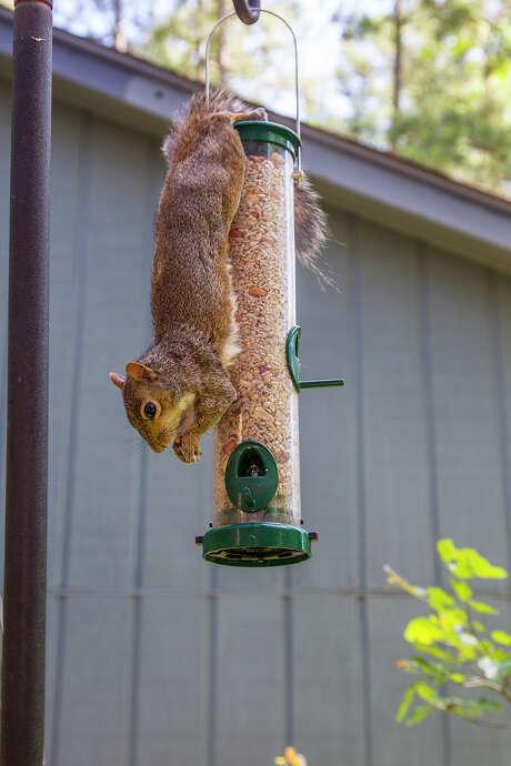 Squirrels have splayed hind feet that allow them to hang upside down on birdfeeders. Photo: Kathy Adams Clark / Kathy Adams Clark/KAC Productions