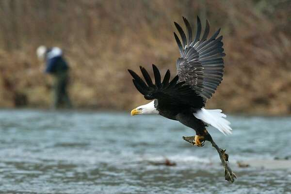 01-11-04 On Sunday a Bald Eagle takes flight with the remains of a salmon as a fisherman check his line on the banks of the Skagit River near the town of Rockport By Gilbert W.Arias