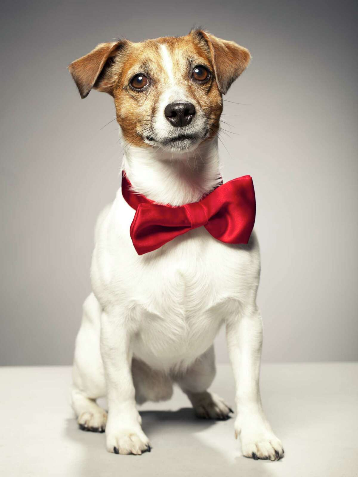 No. 20 - Jack Russell Terrier 2014: 189 2013: 257 2015 YTD (5/11/15): 63