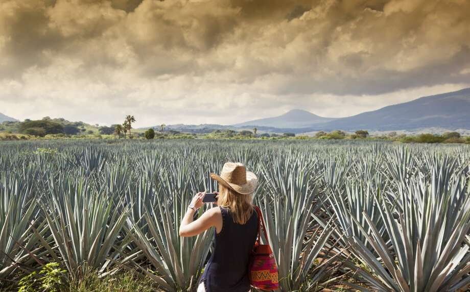 Agave fields are the valuable asset for making tequila. One of the countries with the highest growth in tequila imports is South Africa. Photo: Luis Davilla, Getty Images