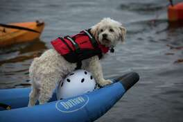 A dog rides in the front of a kayak as hundreds of kayaktivists take to the water during protest against drilling in the Arctic and the Port of Seattle being used as a port for the Shell Oil drilling rig Polar Pioneer. The protest flotilla drew many paddlers to show their displeasure with the rig being moored in Seattle. Photographed on Saturday, May 16, 2015.