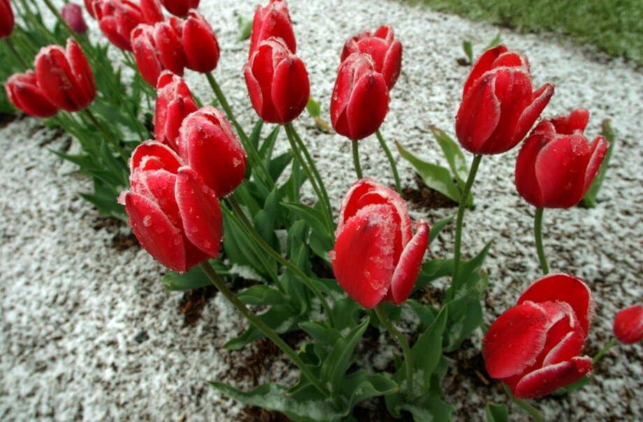 Bildresultat för tulips in spring snow