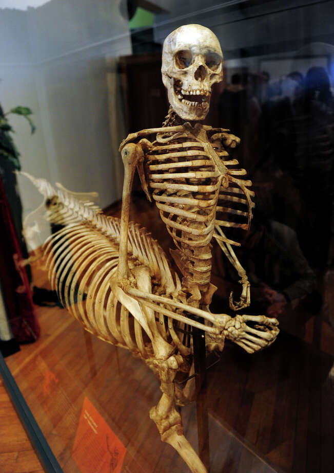 The Centaur of Tymfi was unveiled and on display for the public at the Barnum Museum in Bridgeport, Conn. on April 1, 2014. The skeleton was a gift from the University of Wisconsin. Photo: Christian Abraham / Connecticut Post