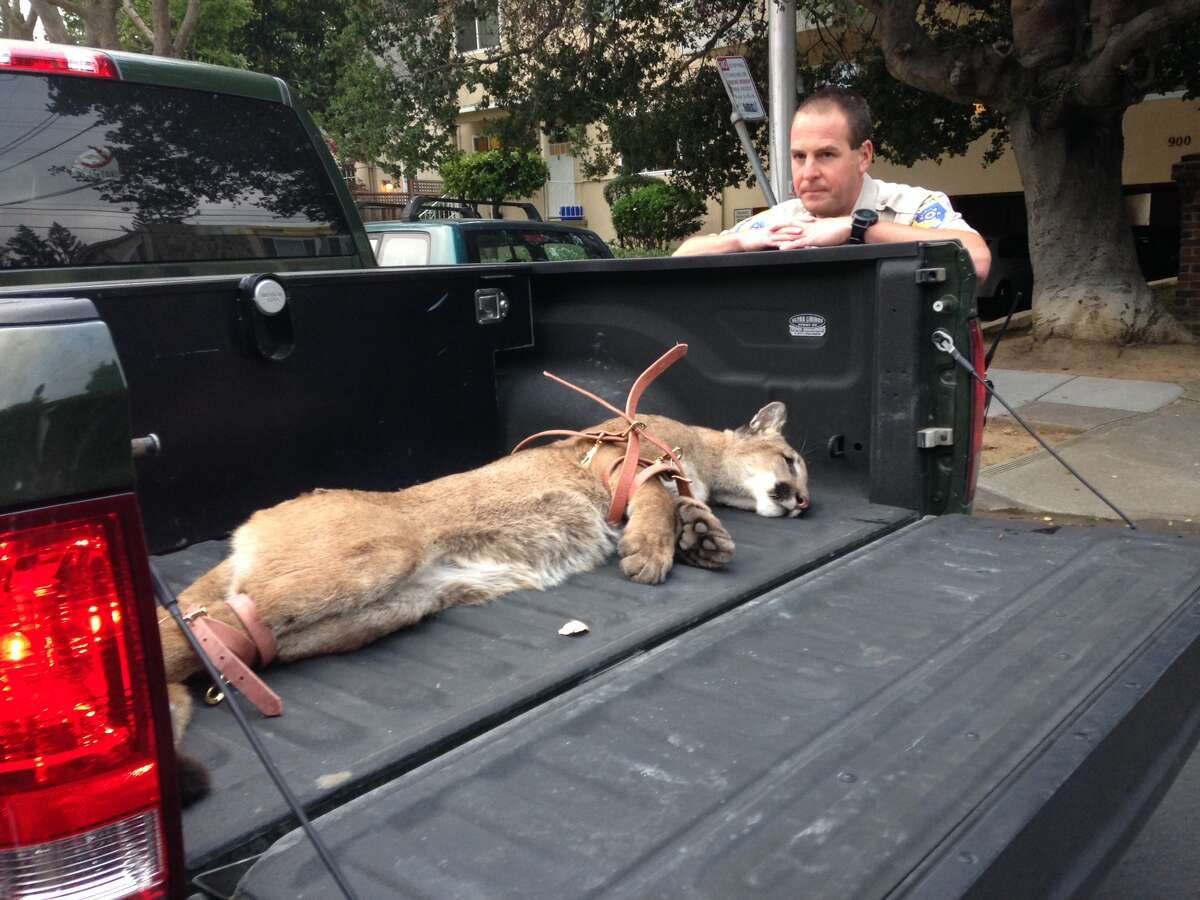A mountain lion was tranquilized and captured in San Mateo Monday evening after three separate sightings in the downtown area over the previous 14 hours.