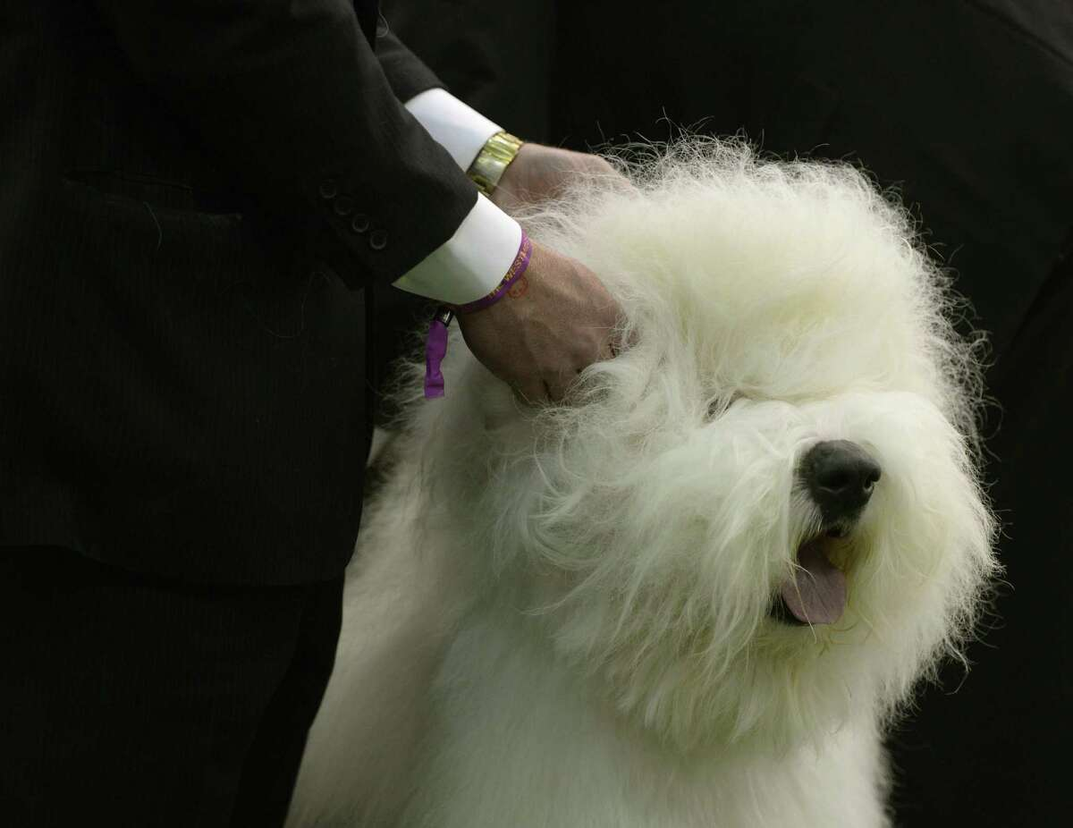 Old English Sheepdog Average price: $1,250Tier: Fair working/obedience intelligence**Note: