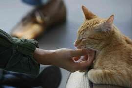Hibaru Ogawa pets a cat while visiting the newly-established Cat Town Cafe in Oakland, Calif. Saturday, November 15, 2014. Cat Town serves as both a coffee house and an adoption center for cats and is the first of its kind in the United States.