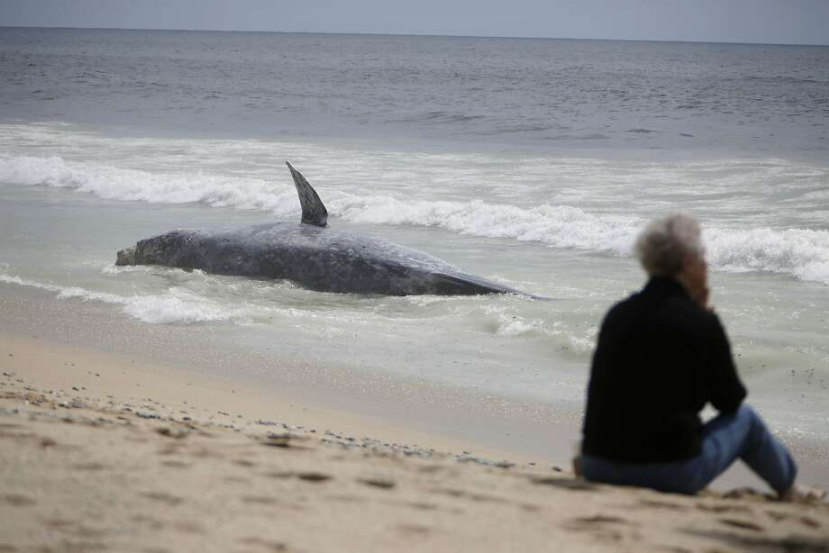 Pat Davis of Oakdale sits on the beach next to a dead whale that washed ashore near Poplar Beach on Tuesday, May 19, 2015 in Half Moon Bay, Calif. Photo: Lea Suzuki, The Chronicle