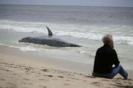 Pat Davis of Oakdale sits on the beach next to a dead whale that washed ashore near Poplar Beach on Tuesday, May 19, 2015 in Half Moon Bay, Calif.