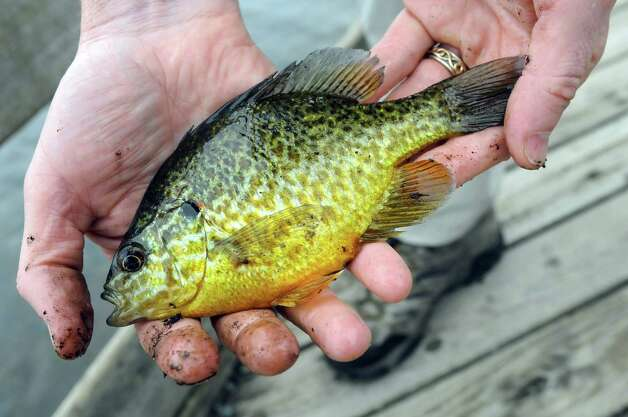 Fish biologist Greg Kozlowski holds a Pumpkin Seed Sunfish before releasing it back into Rensselaer Lake during a Department of Environmental Conservation Free Sport Fishing Clinic on Tuesday, May 19, 2015, at Six Mile Waterworks in Albany, N.Y. The clinics, which are held across the state, allow would-be-fishing enthusiasts the chance to receive instruction and try the sport without a license. For more information visit www.dec.ny.gov. (Cindy Schultz / Times Union) Photo: Cindy Schultz / 00031852A