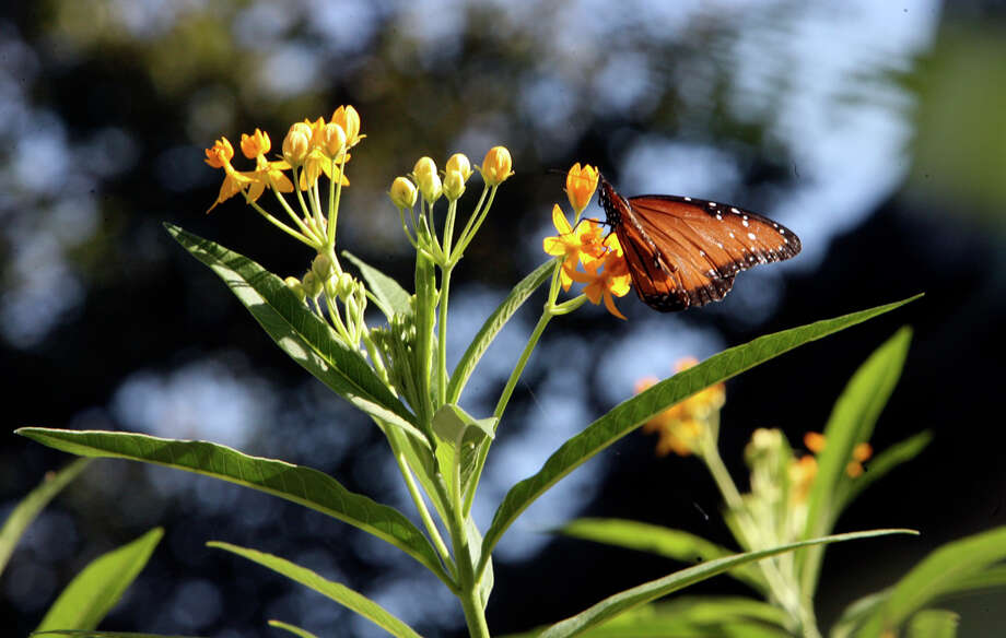 Gardeners are encouraged to plant milkweed species because it is the only plant genus on which monarch butterflies lay eggs. Photo: Express-News File Photo / San Antonio Express-News