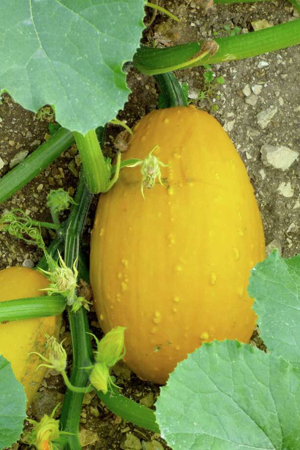 A squash-pumpkin hybrid emerged from seeds saved from last year's crops. Photo: Courtesy Photo