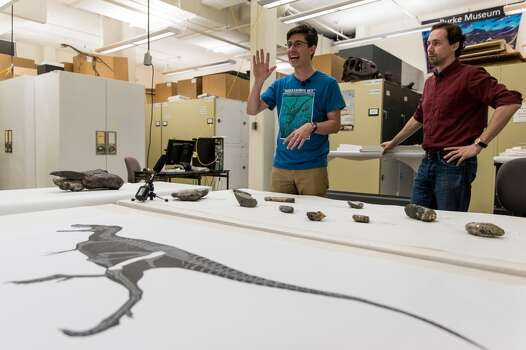 Dr. Christian Sidor, right, Burke Museum curator of vertebrate paleontology, and Brandon Peecook, center, a University of Washington graduate student, show off the first dinosaur fossil ever found in Washington state: an 80-million-year-old partial left femur bone of a theropod dinosaur, photographed Wednesday, May 20, 2015, at the Burke Museum in Seattle, Washington. The bone was collected by Burke Museum paleontologists on the shore of Sucia Island State Park in the San Juan Islands in May 2012. The rest of the two-legged, carnivorous dinosaur was likely washed away or carried away by scavengers. The fossil will be on display in the Burke Museum's lobby beginning Thursday, May 21. (Jordan Stead, seattlepi.com) Photo: JORDAN STEAD, SEATTLEPI.COM