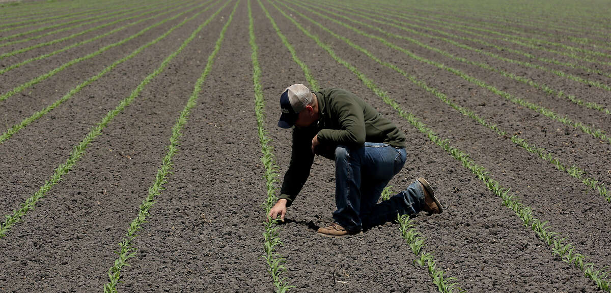 Gino Celli inspects some recently sprouted corn on land he farms near Stockton. Celli has senior water rights and draws irrigation water from the Sacramento-San Joaquin River Delta.