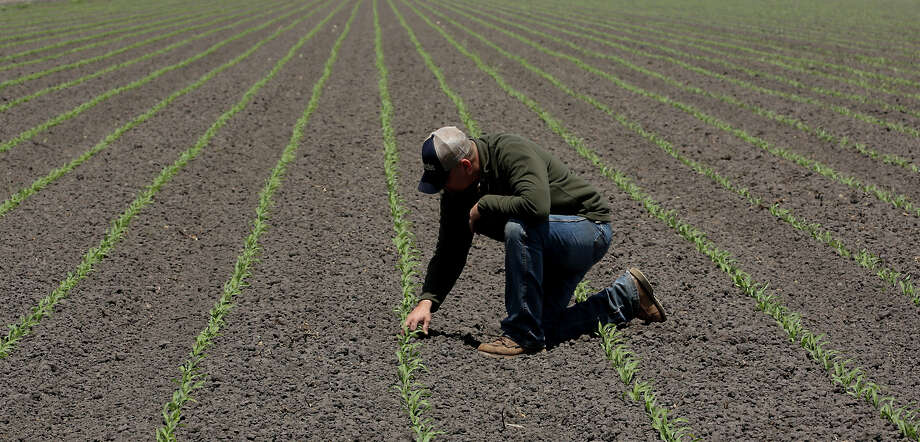 Gino Celli inspects some recently sprouted corn on land he farms near Stockton. Celli has senior water rights and draws  irrigation water from the Sacramento-San Joaquin River Delta. Photo: Rich Pedroncelli / Associated Press / AP