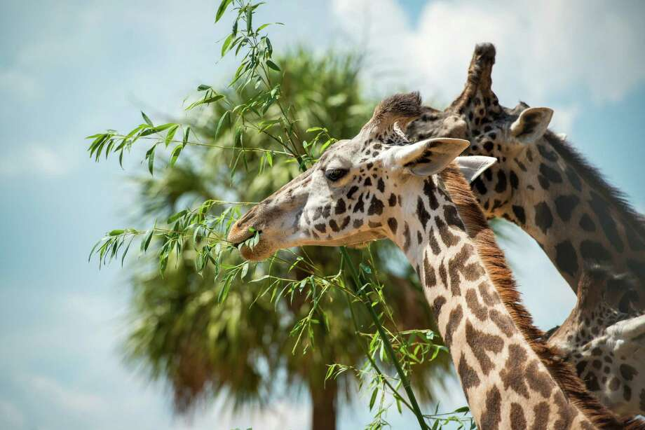 "Neema, an 8-year-old Masai giraffe at the Houston Zoo, died May 21, 2015 of what the zoo is calling a ""short, but aggressive illness."" Neema fell sick just one week prior and had been under the care of zoo staff. Neema was the mother of one calf, Kamili, which was born in August 2014. Photo: Stephanie Adams 