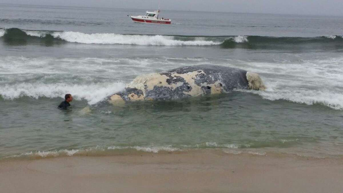 A worker attempts to secure a rope to the carcass of a gray whale that washed ashore in Half Moon Bay so that the animal can be towed out to sea Thursday morning.