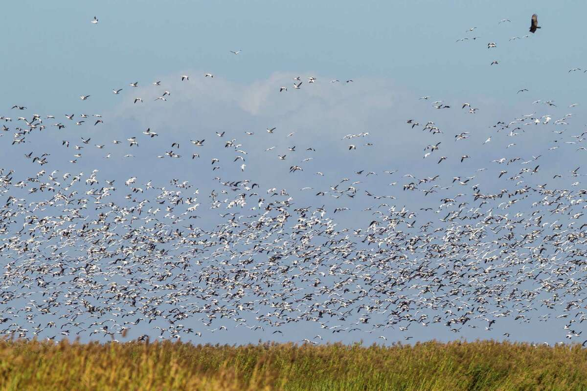 Birdwatching is great at Anahuac National Wildlife Refuge all year. During the winter flocks of snow geese bedeck the landscape.