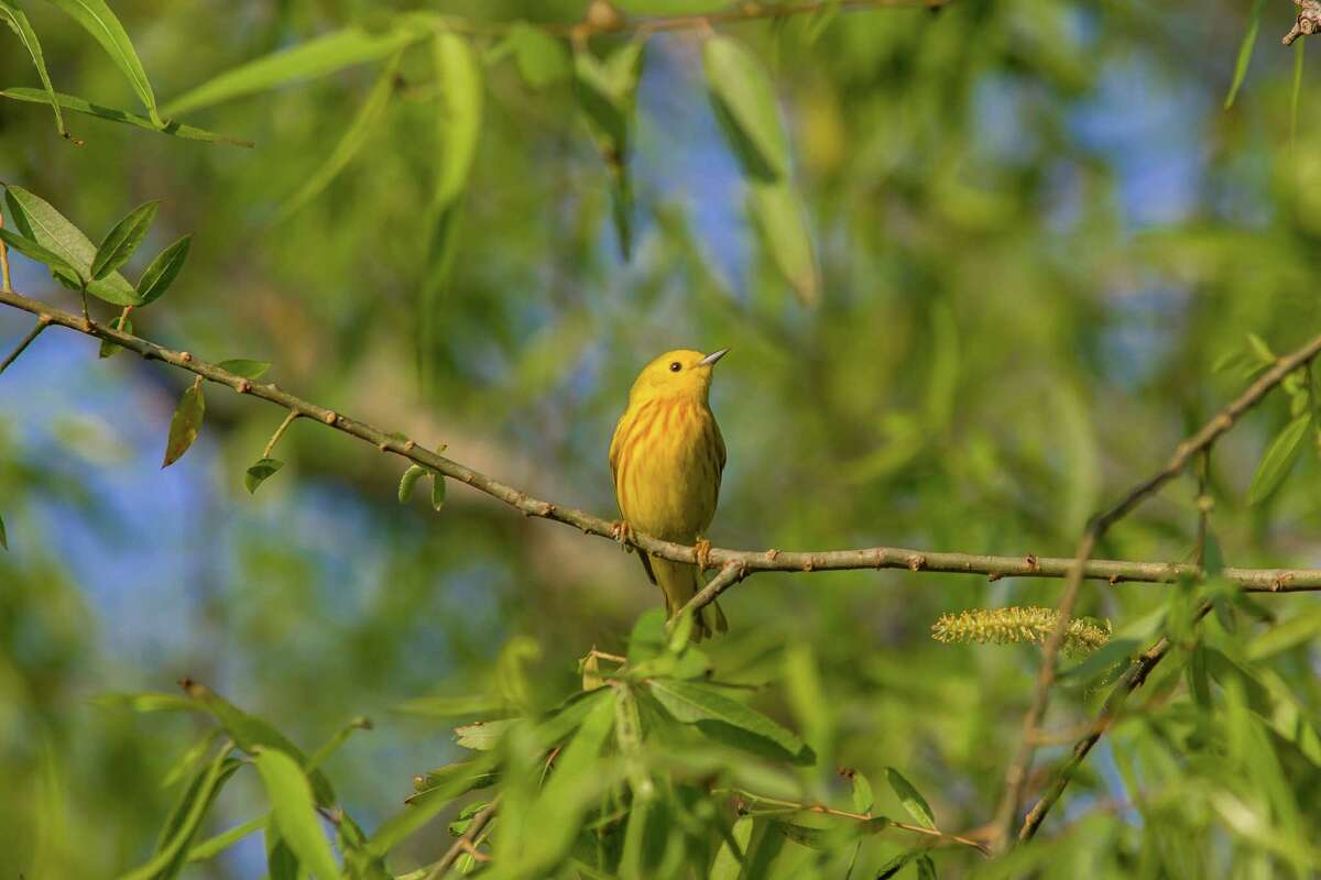 Migratory songbirds like yellow warblers abound at the Anahuac National Wildlife Refuge in the spring.