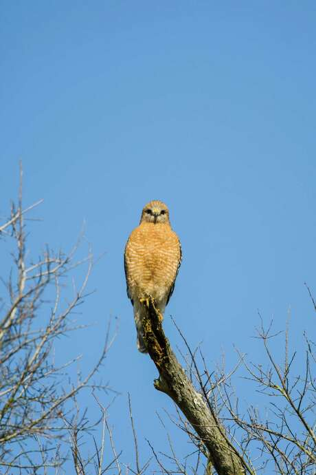 Resident birds at Brazos Bend State Park include the red-shouldered hawk.