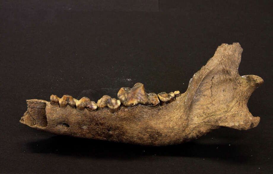 In an undated handout photo, a Taimyr wolf jawbone. Dog ancestors diverged from modern wolf ancestors at least 27,000 years ago, researchers have determined with the help of a Taimyr wolf jawbone and rib fossil. (Love Dalen via The New York Times) -- NO SALES; FOR EDITORIAL USE ONLY WITH STORY SLUGGED DOGS WOLVES BY JAMES GORMAN. ALL OTHER USE PROHIBITED. Photo: LOVE DALEN, HO / New York Times / LOVE DALEN