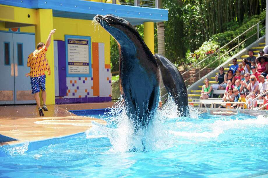 A sea lion performs as part of the new Sea Lion High show featuring comedic sea lions at SeaWorld San Antonio. Photo: Courtesy Photo / SeaWorld