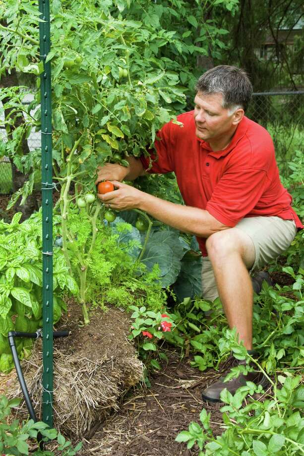 "Joel Karsten harvests tomatoes from his straw bale garden. Karsten has devised a method for growing plants directly in straw bales. His idea is gaining momentum among gardeners with the release last month of his book, ""Straw Bale Gardens"" (Cool Springs Press, $19.99). (Courtesy Tracy Walsh/Poser Design via Akron Beacon Journal/MCT) Photo: HANDOUT / Akron Beacon Journal"
