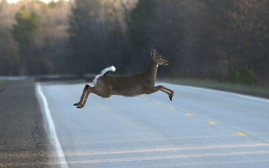 Avoid deer and other woodland creaturesKeep your eyes peeled when you're on the road. You never know when a deer or a bunny might hop into your way. Photo: Carlos Osorio, Associated Press