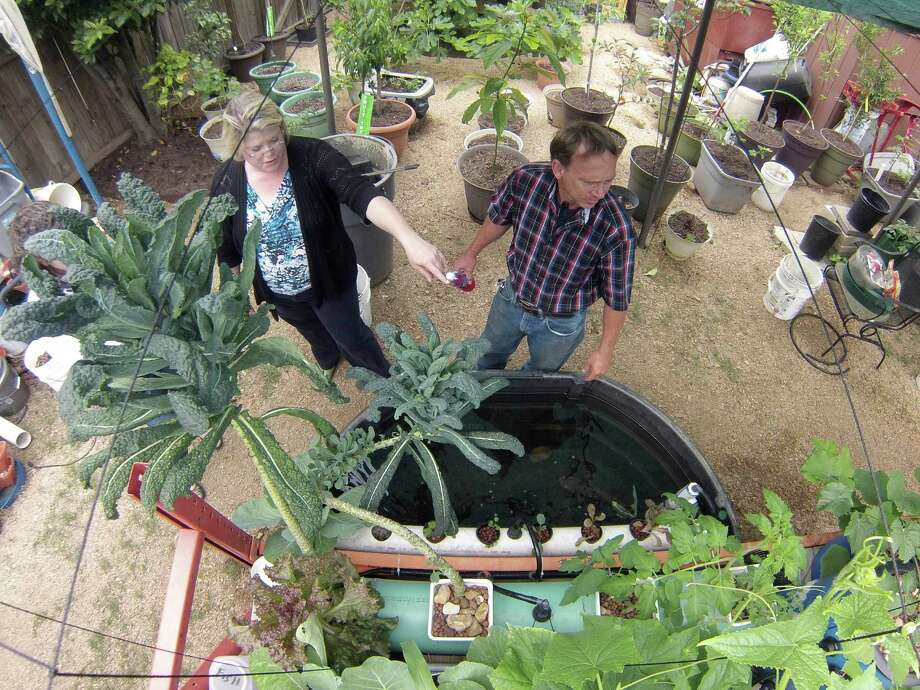 Leisa and Randy McPherson grow vegetables aquaponically in their backyard garden. All of their plants are watered from tanks holding tilapia fish. Photo: Billy Calzada /San Antonio Express-News / San Antonio Express-News