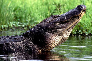 An alligator bathing in the marsh can be seen on the Creole Nature Trail in southwest Louisiana.