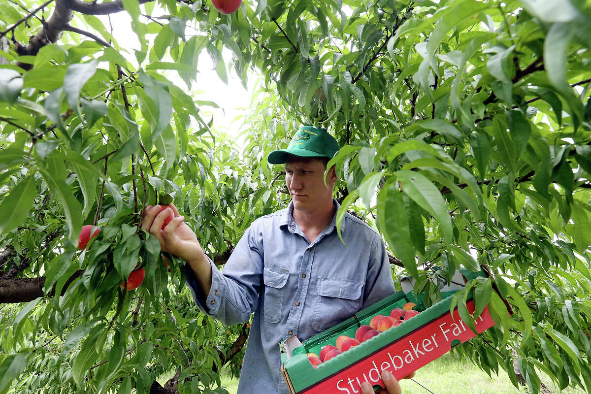 Kyle Patteson picks peaches to sell May 21 at Studebaker Farm near Fredericksburg.
