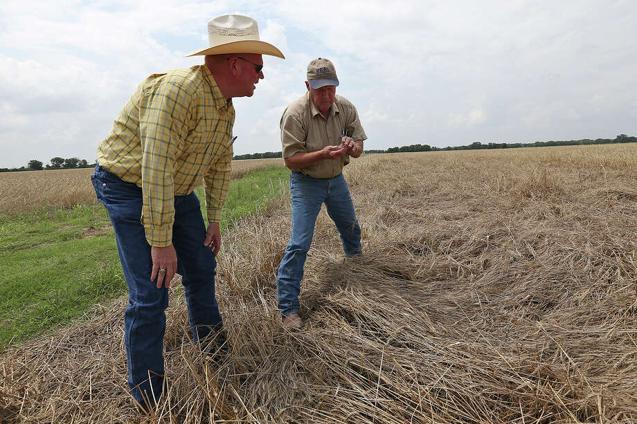 """Texas A&M AgriLife Extension Service Agent Roy Flora (left) checks out a wheat field farmed by Chuck Real near Marion. """"We kind of need the rain to slow down in July and August because that's when they're trying to get into the fields and get their corn out,"""" Flora explains. Photo: Jerry Lara /San Antonio Express-News / © 2015 San Antonio Express-News"""