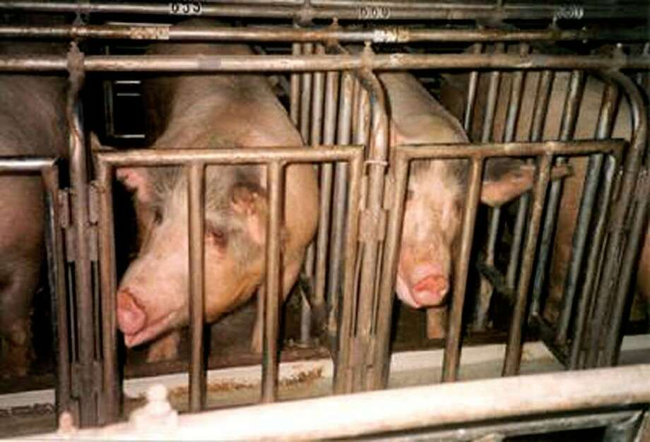 Pigs, alleged by the group Floridians for Humane Farms to be pregnant, stand in gestation crates in this photo supplied by the organization. Wal-Mart's new guidelines aim to get suppliers to stop using such gestation crates.  Photo: HO / FLORIDIANS FOR HUMANE FARMS